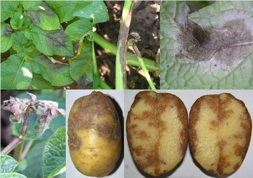 Болезни картофеля - фото, описание и лечение, как победить причины возникновения