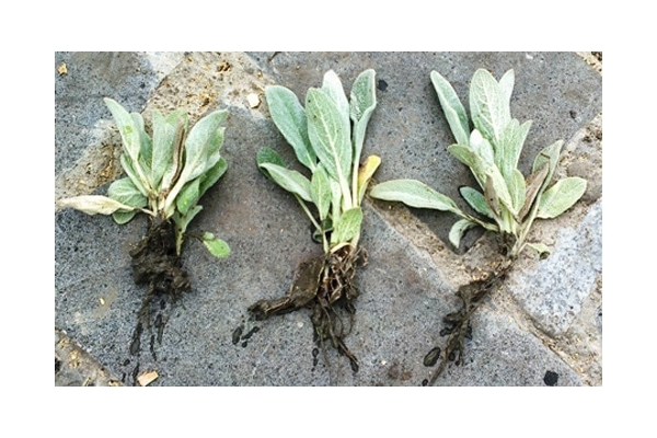 Заячьи ушки растение посадка и уход