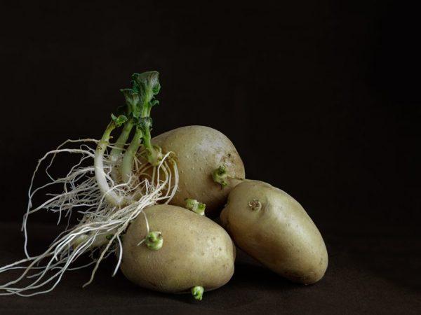 Как ипользовать проросшего картофеля