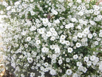 Гипсофила метельчатая: посадка и уход, фото, выращивание из семян