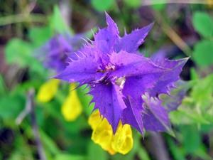 Иван-да-Марья растение описание где растет
