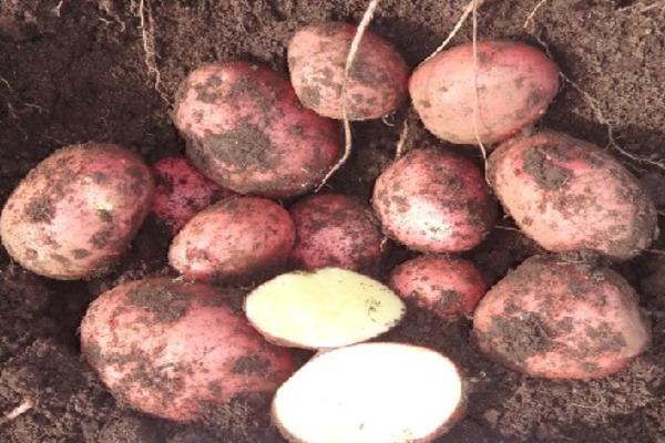 этой картошка крымская роза описание фото кята