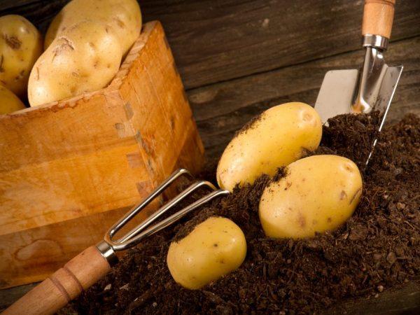 Картофель рамос описание сорта фото отзывы
