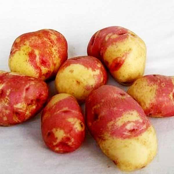 Картошка сорт матрешка фото