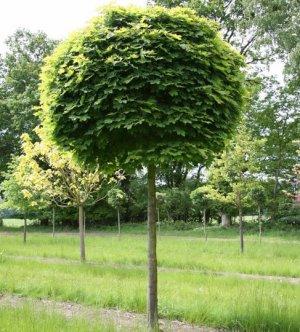 Дерево клен ясенелистный: корни, почки, плоды. цветы