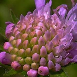 Короставник полевой — полезные свойства, описание
