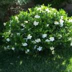 Сколько лет растет лиственница