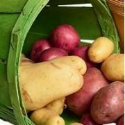 Новые сорта картофеля для урала