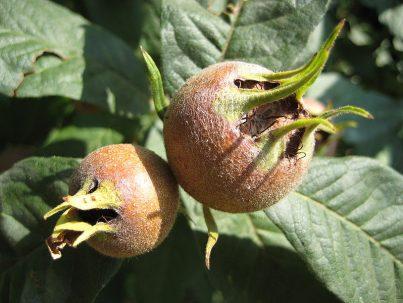 Мушмула германская компот
