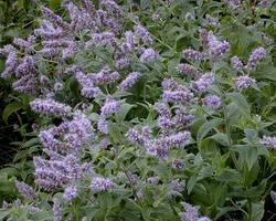 Ментоловая мята: выращивание, характеристика растения