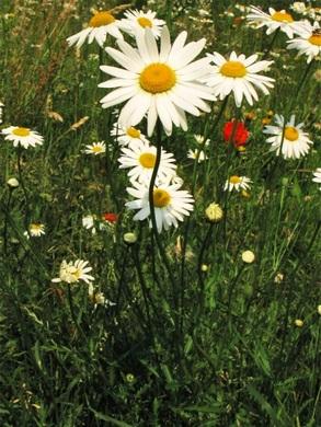 ᐉ Нивяник обыкновенный - полезные свойства, описание