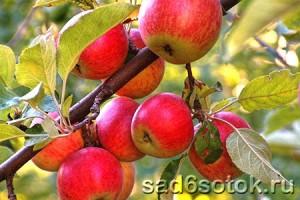Яблоня ноктюрн описание фото — Все про дачу