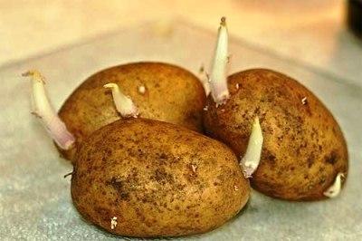 ᐉ Обрывать ли ростки у картофеля перед посадкой