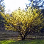 Лещина обыкновенная: описание растения, как выглядит и где растёт, особенности цветения, выращивание