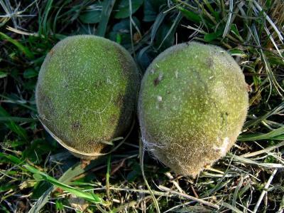 Японский орех. Орех серый: описание, польза и особенности выращивания Орех зибольда