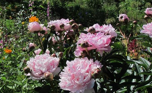 ᐉ Пион молочноцветковый - полезные свойства, описание