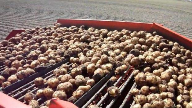 Картофель белки жиры углеводы