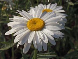 ᐉ Поповник обыкновенный - полезные свойства, описание