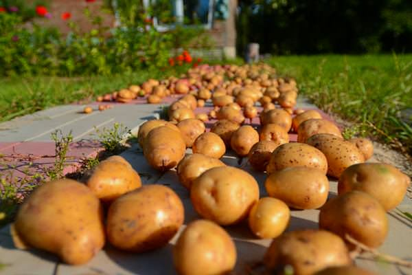 Оптимальные сроки посадки картофеля когда сажать в различных регионах