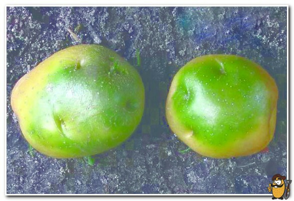 Можно ли употреблять в пищу зеленый картофель