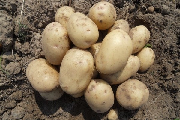 Сорт Картофеля Ильинский - Блог фермера