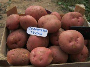 Сиреневый туман картофель описание
