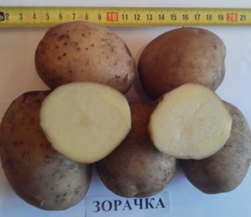 Сорт картошки зорачка