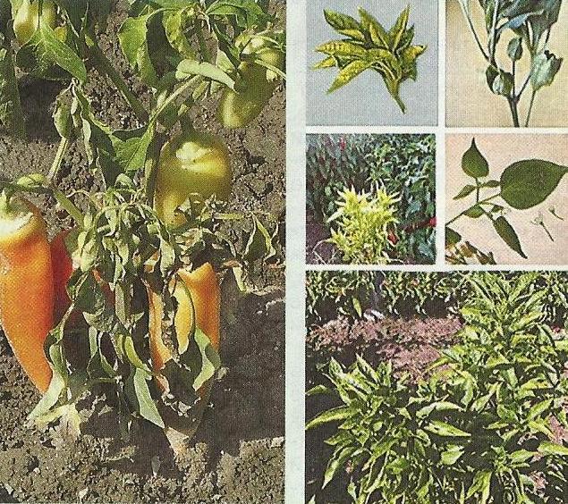 Столбур томатов, фото, меры борьбы с фитоплазмозом