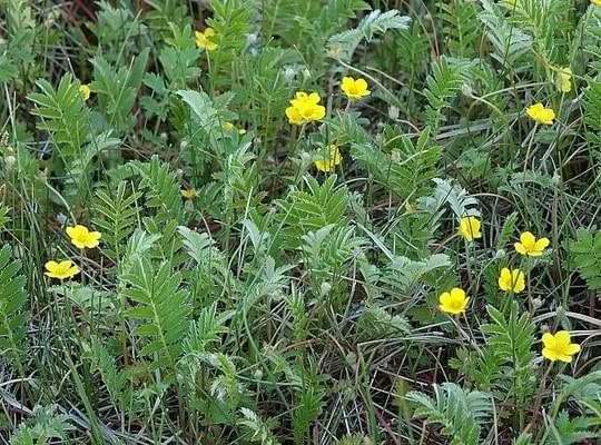 Гусиная лапка травянистые растения для открытого грунта