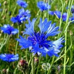 Лечебные свойства василька синего