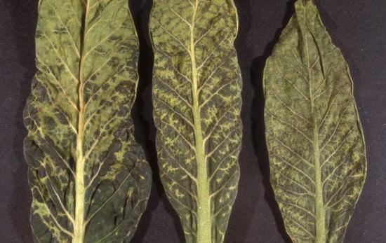 ᐉ Вирус табачной мозаики растений, как лечить