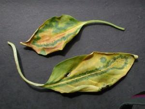Вирус табачной мозаики на растениях: как лечить, фото, видео