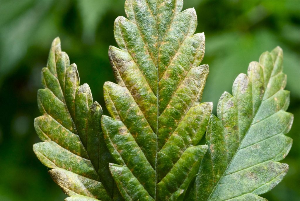 Вирус табачной мозаики – симптомы и лечение