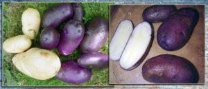 Картошка сорт цыганка