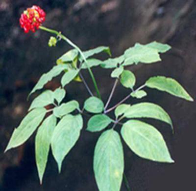 Женьшень описание растения