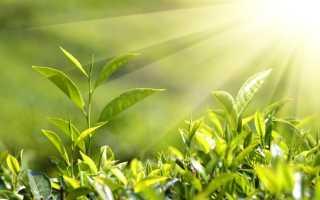 Метод определения продуктивности фотосинтеза листьев винограда в связи с урожаем
