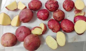 Сорт картофеля «Ароза» – описание и фото