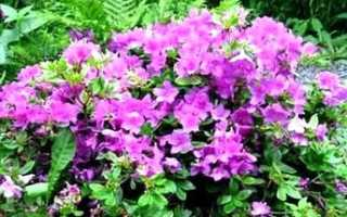 Акантопанакс сидячецветковый — полезные свойства, описание