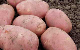 Сорт картофеля «Рокко» – описание и фото