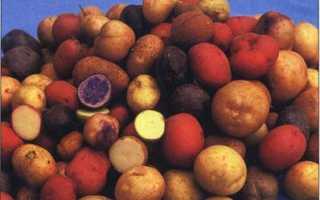 Сорт картофеля «Кортни» – описание и фото