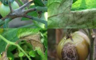 Фитофтора растений, как лечить