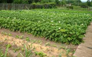 Сорняки на картофеле: виды растений и способы их уничтожения