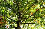 Гвоздичное дерево — полезные свойства, описание