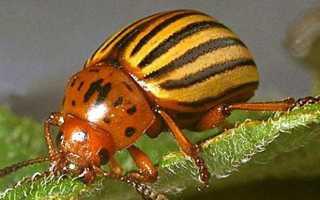 Народные средства от колорадского жука – полный обзор