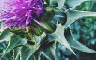 Остро-пестро — полезные свойства, описание