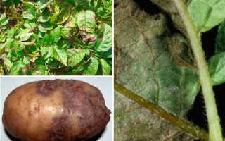 Молочная сыворотка от фитофторы – обработка картофеля и томатов