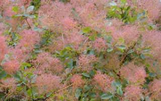 Париковое дерево — полезные свойства, описание