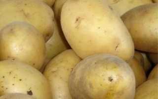Сорт картофеля «Чайка» – описание и фото