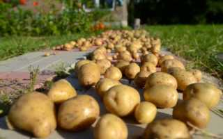 Обработка картофеля перед хранением – правильная подготовка