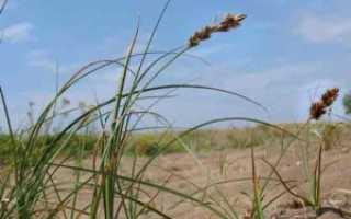 Осока обыкновенная — полезные свойства, описание